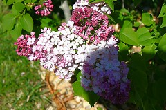 Central Experimental Farm Lilacs 025 (Chrisser) Tags: flowers ontario canada nature garden spring gardening ottawa fourseasons closeups lilacs syringa oleaceae centralexperimentalfarm canonefs1855mmf3556islens canoneosrebelt1i