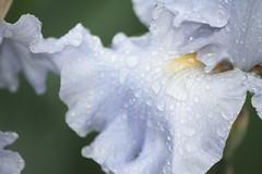 Wet Iris (f.tyrrell717) Tags: blue iris light flower macro wet rain theme monday