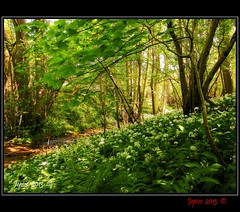 Wild Garlic By A Stream. (Picture post.) Tags: flowers trees green nature water woodland landscape countryside interestingness eau stream paysage arbre springtime ramsons wildgarlic dappledsunlight
