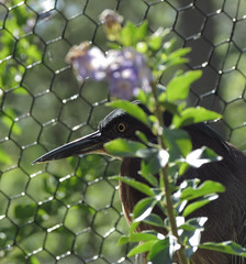 Little Blue Heron in hiding (kittykat7) Tags: birds florida littleblueheron homossasa homossasaspringswildlifestatepark