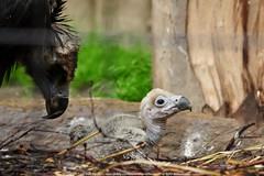 monniksgier - Aegypius monachus - Cinereous Vulture (MrTDiddy) Tags: bird zoo chick orion vulture sir antwerpen vogel zooantwerpen kuiken monnik cinereous aegypius monachus gier monniksgier
