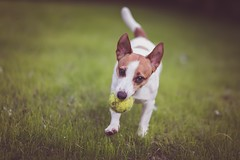 (nmastoras) Tags: dog pet pets cute dogs nature animal animals jack jrt russell action terrier jackrussell jackrussellterrier