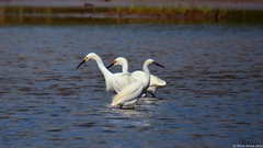 Snowy Egret (Egretta thula) - note the lore coloration differences (Steve Arena) Tags: bird egret snowyegret sneg wader