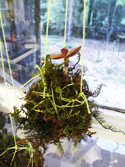 kokedama 0853 (sugar-cookie) Tags: garden georgia diy moss succulent grow craft athens treehouse crafty kokedama craftparty mossball gardenmoss treehousekidandcraft