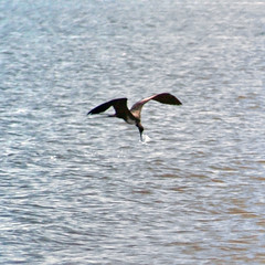 Fishing Female Magnificient Frigatebird (MickiP65) Tags: copyright usa bird gulfofmexico water birds animal animals coast gulf florida birding may aves northamerica tropic fl birdwatching cedarkey animalia avian frigatebird levy allrightsreserved audubon gulfcoast copyrighted fregatamagnificens frigatebirds chordata 2013 magnificientfrigatebird img6919 michellepearson naturecoast mickip mickip65 20130523 052313 05232013 may232013