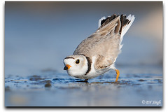 Piping Plover (BN Singh) Tags: new wild usa bird beach nature feeding sandy nj shore jersey hook piping defence plover nra shorebird defending charadrius melodus