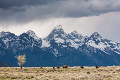 Bison, Tetons, and Storm (Free Roaming Photography) Tags: usa cloud mountain snow storm mountains west tree rain weather animals clouds season nationalpark spring buffalo cloudy wildlife cottonwood western northamerica wyoming teton tetons storms bison mammals herd grandteton jacksonhole sagebrush precipitation grandtetonnationalpark tetonmountains antelopeflats
