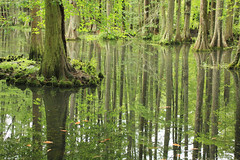 Cypress Reflections (alykat) Tags: trees reflection cypress swanlake sumtersc t2i swanlakeirisgardens canonef40mmf28stm