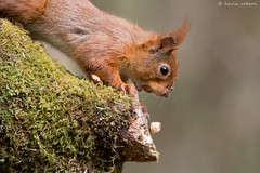 The One That Got Away... (KHR Images) Tags: wild nature closeup mammal nikon wildlife 300mm f4 redsquirrel dumfriesandgalloway sciurusvulgaris d7100 kevinrobson khrimages