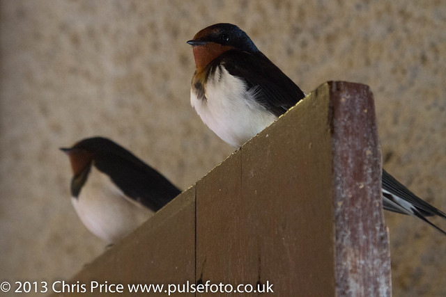 Swallow, Martins Haven