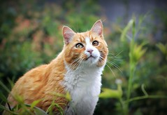 Kalo (sillitilly) Tags: red summer orange cats macro animals garden ginger feline kitty gato kalo impressedbeauty