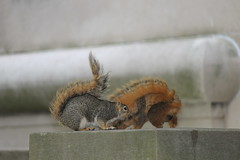 Squirrel at the University of Michigan (June 24, 2013) (cseeman) Tags: tree animal campus spring squirrels michigan annarbor mating universityofmichigan umsquirrels06242013 juneumsquirrel