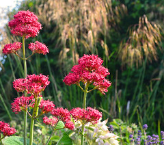 Valeriana & Stipa gigantea (AndyorDij) Tags: uk flowers rutland valerian empingham simplyflowers stipagigantea 2013 valerianaofficinalis goldenoatsgrass