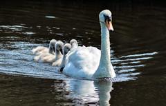 DSC_0047 - Proud mother... (SWJuk) Tags: uk summer england home canal swan nikon lancashire cygnets burnley leedsliverpoolcanal d90 2013 nikond90 swjuk mygearandme mygearandmepremium jul2013