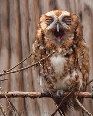 Everybody Yawns (pkHyperFocal) Tags: brown cute bird yawn sleepy tired owl screechowl