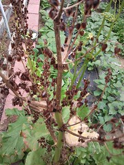 """Rhubarb going to seed • <a style=""""font-size:0.8em;"""" href=""""http://www.flickr.com/photos/54958436@N05/9291238305/"""" target=""""_blank"""">View on Flickr</a>"""