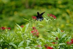 (ddsnet) Tags: birds butterfly insect sony hsinchu taiwan 99  slt        sinpu hsinpu zoobird   singlelenstranslucent 99v