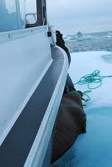 Walrus Hunt 8_5_13 1 329 (efusco) Tags: ocean sea ice alaska native arctic butcher hunter beaufort walrus hunt midnightsun iceburg floe inupiat inupiaq aivik femalewalrushunt85131