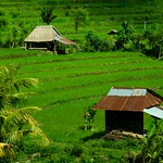 Rice paddies near Amed - Bali