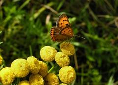 Vuurvlindertje (Ab Aberson) Tags: butterfly vlinders boerenwormkruid