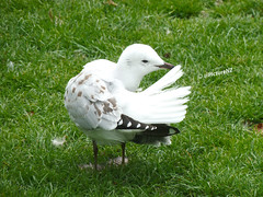 One Less to Worry About (Steve Taylor (Photography)) Tags: newzealand christchurch brown white green bird grass seagull gull tail preening feather canterbury nz southisland tidyingup