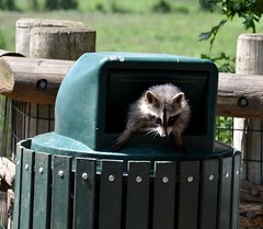Raccoon - Caught this little guy crawling out of a trash can. (Adventurer Dustin Holmes) Tags: animal animals mammal wildlife coon raccoon racoon mammals animalia mammalia procyonlotor carnivora procyon kansascityzoo chordata procyonidae 2013 commonraccoon northernraccoon procyonid northamericanraccoon plotor procyonidfamily