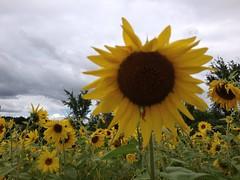 Sunflowers (RachelWolff72) Tags: sun flower droopy sunflower fields monday