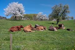 Kühe mit Hörnern!