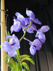 Exposition d'orchides /// Orchid exhibition (Hlne_D) Tags: plant france orchid flower fleur plante rhne orchide rhnealpes orchidexhibition caillouxsurfontaines hlned expositiondorchides