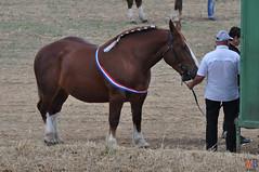 DSC_0244 (- MB Photo -) Tags: de cheval des 09 labour concours 07 vache tracteur vaches chevaux bourg comice agricole comptes 2013 bourgdescomptes |labourer