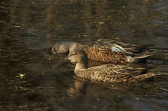 Kuruwhengi - Australasian shoveler - Anas rhynchotis (Steve Attwood) Tags: light newzealand christchurch reflection bird nature water canon duck wildlife waterfowl shoveler wetland wildfowl anatidae anseriformes anasrhynchotis kuruwhengi australasianshoveler otukaikino