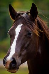 Foxy (James Billson) Tags: show horse minnesota rural mare farm country pasture breed equestrian halter equine breeder americanquarterhorse priorlake aqha infoal broodmare westernpleasure
