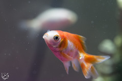 Gold fish (white-gold) (Qunaieer) Tags: fish water gold aquarium