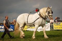 DSC_5882 X (Ton van der Weerden) Tags: horses horse de cheval nederlands jos belges draft chevaux belgisch trait trekpaard trekpaarden peerlings