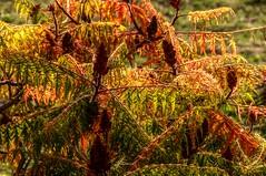 Sumac (Elliott Bignell) Tags: autumn florence colours sumac tuscany firenze toscana florenz toskana montespertoli
