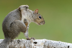 Squirrel_47613.jpg (Mully410 * Images) Tags: backyard squirrel birch graysquirrel easterngraysquirrel