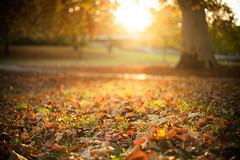 jese 01 (jakub_p) Tags: autumn sunset sun tree 50mm sad bokeh 5d bratislava janka petrzalka zapad krala