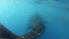 caudale (steph3xx) Tags: mexico shark yucatan hero mexique whale requin mujeres isla roo quintana holbox baleine hd2 contoy gopro