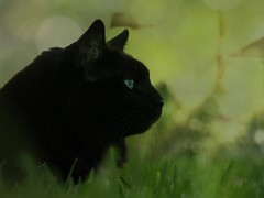 ~ Frisco ~ (Shelby's Trail) Tags: green grass cat bokeh gratitude mycat frisco ♥ bokehwednesday suchajoy mortalmuses mortalmuseseverydaybeauty gonnamissthatfurball