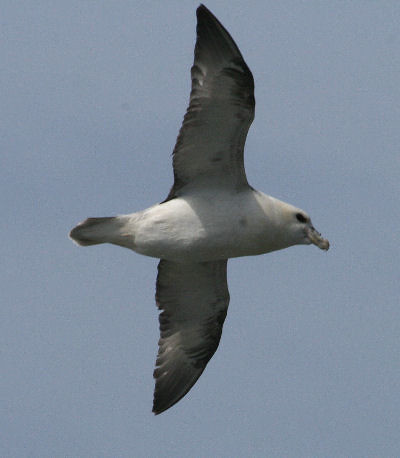 "Fulmar • <a style=""font-size:0.8em;"" href=""http://www.flickr.com/photos/30837261@N07/10722983216/"" target=""_blank"">View on Flickr</a>"