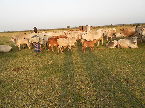 putting cattle into Bomas at night
