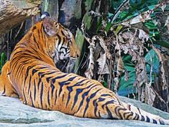 Tiger, Singapore Zoo (jonhuskisson) Tags: travel nature animal cat zoo singapore asia seasia southeastasia tiger backpacking bigcat singaporezoo flickrbigcats