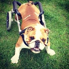 Royce (C Merry) Tags: cutedog facebook rescuedog happydog singingdog youtube shelterdog handicappeddog handicappedpets dogsong wheelchairdog paralyseddog instagram instagramdogs vision:plant=0567 vision:outdoor=0935 hotweelz alldogband