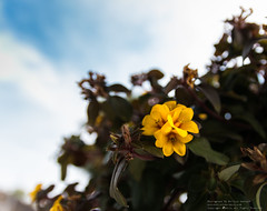 Flower (deardevil) Tags: pictures flower thailand photo photographer chiangmai phography