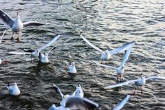 Hey Kumpel! Hey, hier hinten! Wirf das Brot hierher! (S. Ruehlow) Tags: water river wasser frankfurt main vgel fluss mwe altstadt mwen frankfurtammain vogel spaziergang ffm rivermain mainkai raubtierftterung