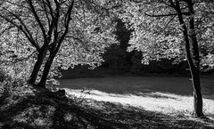 Front light (Werner-Q) Tags: trees summer blackandwhite bw sommer sw schwarzweiss bume gegenlicht frontlight schwarzweis schwarzundweiss schwarzundweis