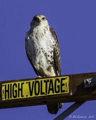 Ferruginous Hawk (Bob Gunderson) Tags: california birds northerncalifornia southbay birdsofprey buteos ferruginoushawk buteoregalis santaclaracounty coyotevalley