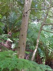 Atherosperma moschatum 3 (barryaceae) Tags: australian national botanic gardens canberra australianrainforestplants rainforest plants species new south wales australia ausrfps atherosperma moschatum southern sassafras blackheartsassafras atherospermataceae
