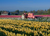 Springtime at the Wooden Shoe Tulip Farm (Bridget Calip - Alluring Images) Tags: flowers clouds oregon barn botanical outdoors spring flora tulips farm symmetry silo rows valley pacificnorthwest fields northamerica bulbs botanic blueskies agriculture johndeere lonetree woodenshoetulipfarm 2013 floralbackground pinktractor bridgetcalip