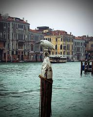 seagull on a pale (Leo schi) Tags: venice water wasser seagull pale mwe venezia auf venedig einem baumstamm pfahl